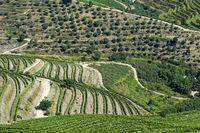 Weinbergterrassen und Olivenplantage in der Douro Region