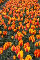 Blooming tulip field of orange tulips, Bollenstreek region, Netherlands