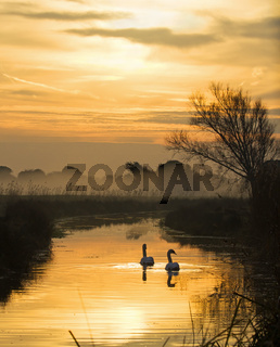 Swans gliding on water-filled dyke at daybreak on Pevensey Levels in East Sussex.
