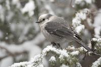 during snowfall... Grey Jay *Perisoreus canadensis*