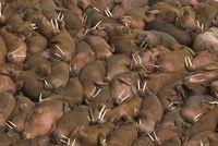 Hundreds of walruses on the beach at Round Island, Alaska.