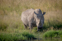 White rhino bull standing in the grass by the water.