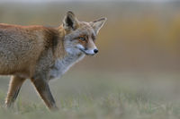 Red Fox * Vulpes vulpes * watching attentively, close-up
