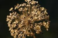 Close up of a withered Allium cristophii flower