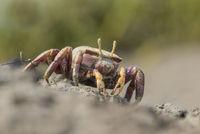 European Female Fiddler Crab,  Uca tangeri, weibliche Europaeische Winkerkrabbe