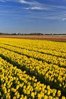 Feld mit gelben Tulpen der Sorte Yellow Purissima zur Produktion von Blumenzwiebeln in der Blumenzwiebelregion Bollenstreek
