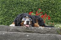 Berner Sennenhund hat eineinde Sonnenbrille auf und liegt gelangweilt auf Terassenstufen