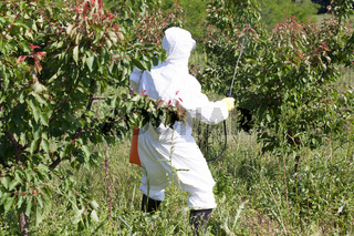 Farmer spraying toxic pesticides or insecticides in fruit orchar