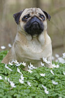 Pug dog sitting on a meadow with wood anemone, Schleswig-Holstein, Germany, Europe