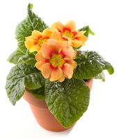 Yellow primrose in flowerpot isolated against white