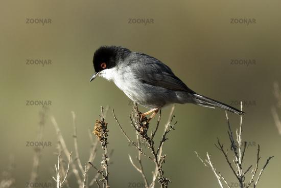 Sardinian warbler seeking for prey
