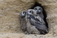 three owlets... Eurasian Eagle Owl *Bubo bubo*, young owls in the entrance of their nesting burrow