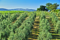 Olives plantation and vineyards near the city of Montalcino