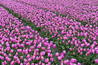 Blooming tulip field of pink tulips, Bollenstreek area, Netherlands