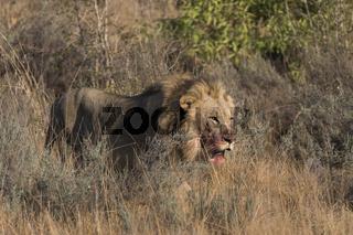 Löwe, (Panthera leo), Welgevonden Privat Game Reserve, Waterberge, Limpopo, Südafrika