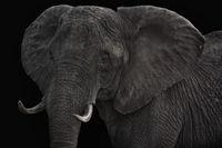 Big cow elephant