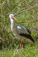 Stork on foraging