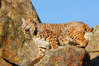 Bobcat standing on a rock