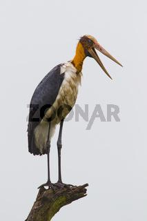 Sunda-Marabu - Wasgamuwa NP, Sri Lanka