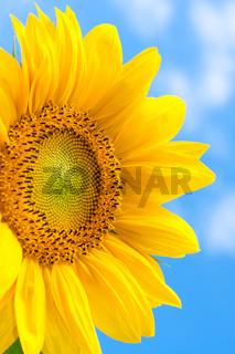 Fantastic yellow sunflower