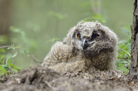 young chick left its nest... Eurasian Eagle Owl *Bubo bubo*