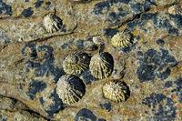 Napfschnecken (Patellidae) siedeln auf Steinen in der Brandungszone