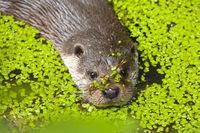 European Otter / Lutrinae swimming through common waterlens