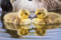 Two very cute young goslings facing each other touching on water.