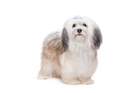 long haired Shih Tzu