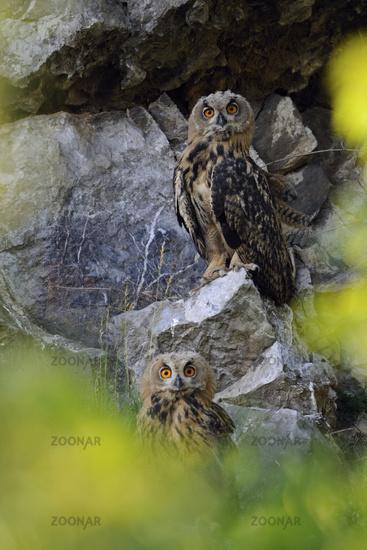 framed... Northern Eagle Owls *Bubo bubo*