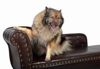 Wolfspitz dog on a brown chippendal sofa
