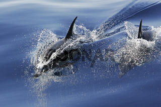 Gemeine Delfine, Common dolphins