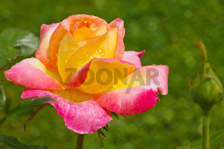 Yellow with pink edge noble rose.