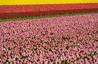 Field of pink tulips for the production of tulip bulbs, Noordwijkerhout, Netherlands