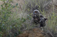 his first flight attempts... Eurasian Eagle Owl *Bubo bubo*