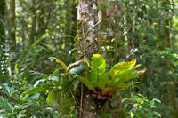 Bird's Nest Fern, Asplenium nidus