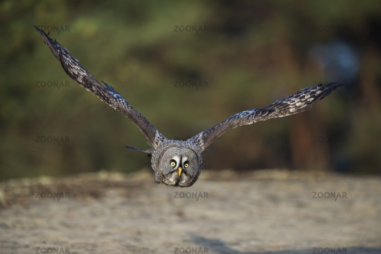 in frontal flight... Great Grey Owl *Strix nebulosa*