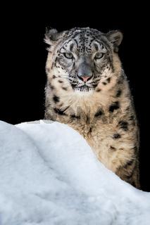 Sunbathing Snow Leopard