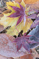 colorful foliage with frost