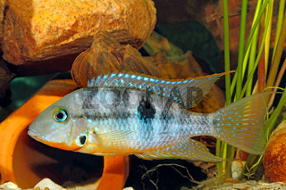 Yellow Fire Mouth (Thorichthys affinis) - male