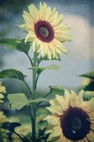 Sonnenblume im Retrolook