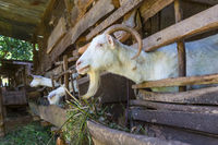 Curious domestic white goats stick their heads through bars of stable.
