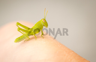 Beautiful Small Green Grasshopper Close-Up Resting On Human Hand.