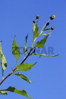 Topinambur Blätter und Blüten