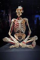 Präparat, Plastinat, menschliches Skelett, Menschen Museum, Berl