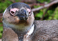 Brillenpinguin. Stony Point, Südafrika, African penguin, South Africa