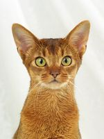 ABYSSINIAN CAT, ABY, ABYSSIN, RUDDY, WILD LOOKING, CLOSEUP,