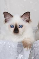 SACRED CAT OF BIRMA, BIRMAN CAT, KITTEN, SEALPOINT,