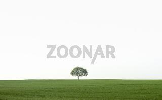 Single tree on a green field