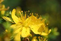 Blossom of St John's wort